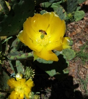 Bee in pear cactus flower