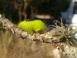 Big green caterpillar