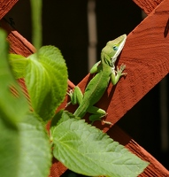 Cute anole