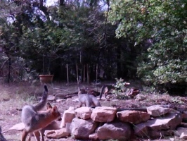 Video: Juvenile foxes