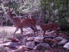 Video: Doe and fawn