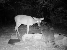 Video: Doe and raccoon