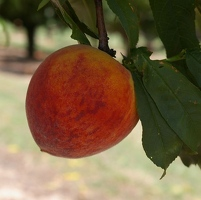 Marburger Orchard
