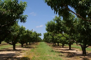Rows of peach trees
