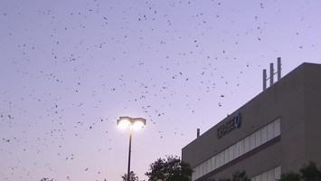 Video: Purple Martins