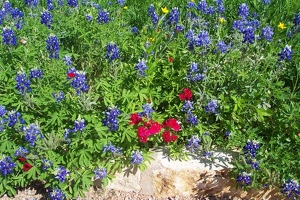 Bluebonnets and red phlox