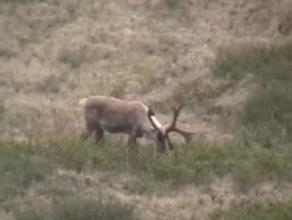 Video: Caribou or elk