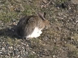 Video: Snowshoe Hares