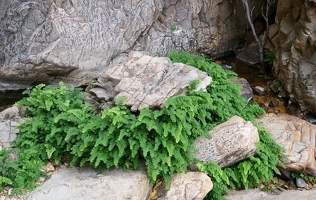 Fern ring around rock