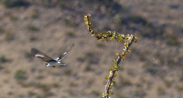 Loggerhead Shrike in flight