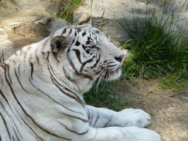 Contented tiger