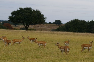 Herd of female blackbuck