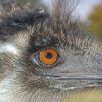 Eye of emu