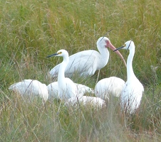 White Ibis and Egrets