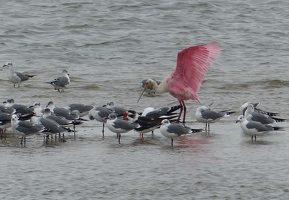 Laughing Gulls, two Black Skimmers, one Roseate Spoonbill