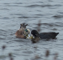 American Wigeon and Coot sharing a snack