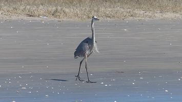 Video: Great Blue Heron