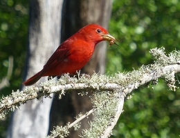 Summer Tanager with insect