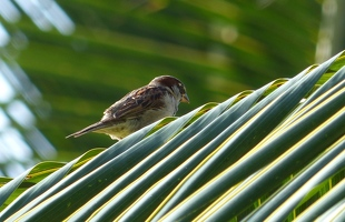 House Sparrow on palm frond