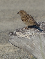 House Sparrow, female
