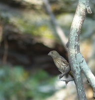 House Finch, female or juvenile