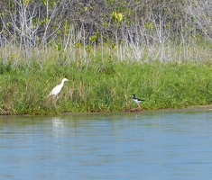 Cattle Egret and Black-necked Stilt
