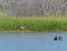 Black-necked Stilt and Hawaiian Coots