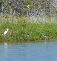 Cattle Egret and Black-necked Stilts