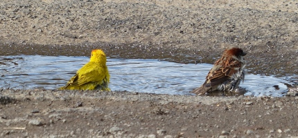 Saffron Finch and House Sparrow