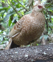 Kalij Pheasant, female