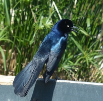 Handsome boat-tailed grackle