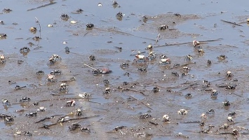 Video: Crabs in mud