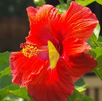 or Hibiscus