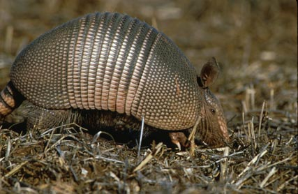 Picture of an armadillo